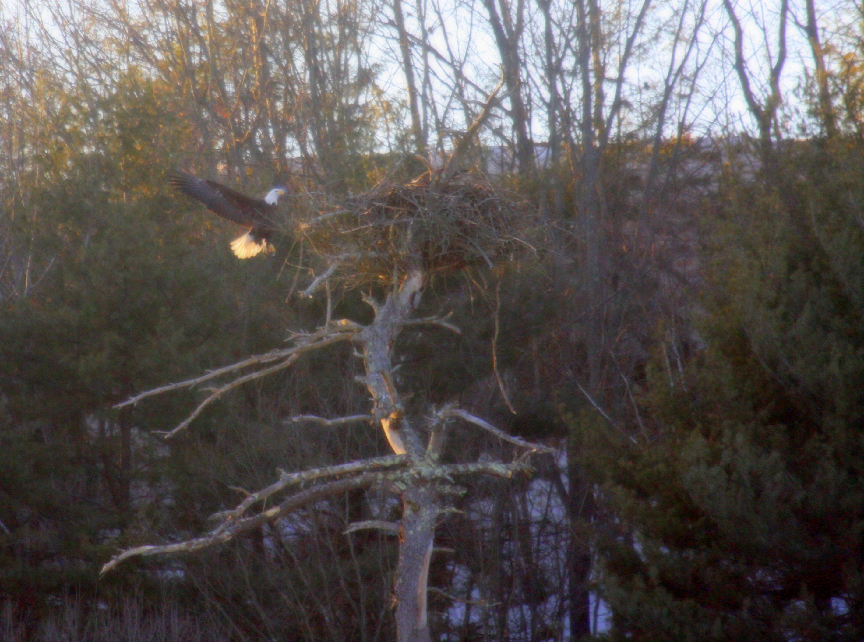 Bald eagle nest along the Connecticut river